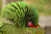 Great Green Macaw hiding his beak — Stock Photo