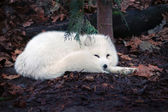 Arctic fox — Foto de Stock