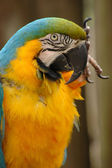 Blue-and-gold macaw head and upper body — Stok fotoğraf