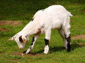 Grazing white dwarf goat — Stock Photo