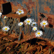 Stock Photo: Oxeye daisies and corroded tracks