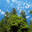 Vivid sky and cedar trees from below. - Stock Photo