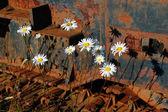 Frühblühende gänseblümchen und korrodierte tracks — Stockfoto