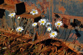 Oxeye daisies and corroded tracks — Stock Photo