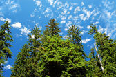 Vivid sky and cedar trees from below. — Stock Photo