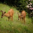 Two black-tailed deer on grass — Stock Photo