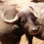 Water Buffalo — Stock Photo #2156599