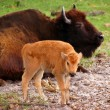 Bison Calf — Stock Photo