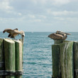 Stock Photo: Pelicans on mooring poles