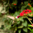 Broad-tailed hummingbird — 图库照片