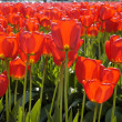 Постер, плакат: Red Transparent Tulips