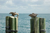 Pelicans on mooring poles — Stock Photo