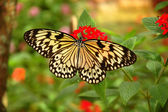 Tree nymph butterfly on a red flower — Stockfoto