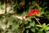 Broad-tailed hummingbird — Zdjęcie stockowe