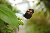 Butterfly heliconius melpomene plesseni — Stock Photo