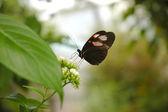 Butterfly heliconius melpomene plesseni — Stock Photo