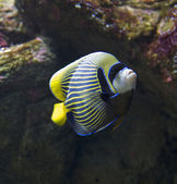 Emperor angelfish -Pomacanthus imperator — Stock Photo