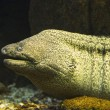 Moray eel — Stock Photo