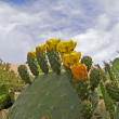 Blooming Prickly Pear cactus — Stock Photo #2577288