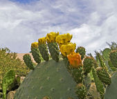 Blooming Prickly Pear cactus — Stock Photo