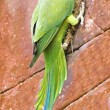 Funny parrot parakeet on brick wall — Stock Photo #2610552