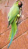 Funny parrot parakeet on a brick wall — Stock Photo