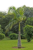 Bottle palm in Delhi park — Stock Photo