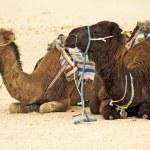 Camels in Sahara desert — Stock Photo #2630336
