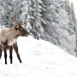 Reindeer — Stock Photo #2128490