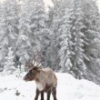 Reindeer — Stock Photo #2128495