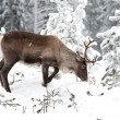 Reindeer — Stock Photo #2128503