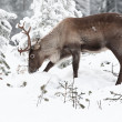 Reindeer — Stock Photo #2128509