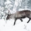 Reindeer — Stock Photo #2128514