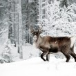 Reindeer — Stock Photo #2128518