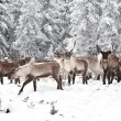 Reindeer - Stock Photo