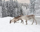 Reindeer — Stock Photo