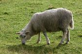 Nordic sheep — Stock Photo