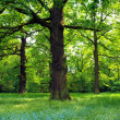 Magical oak trees - Stock Photo