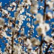Stock Photo: Flowering apricot