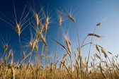 Barley — Stock Photo