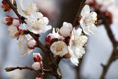 Flowering apricot tree — Stock Photo