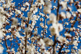 Flowering apricot — Stock Photo