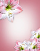 Amaryllis pink flower Border — Stock Photo
