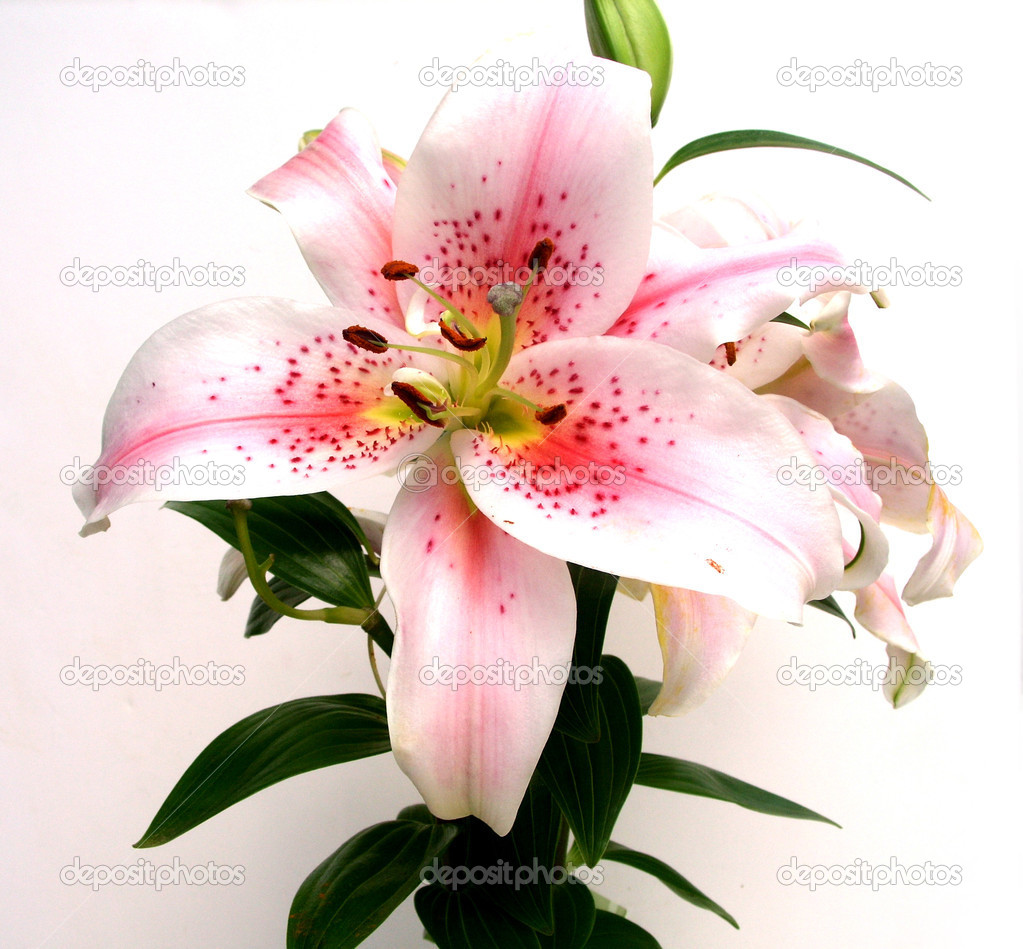 Close up of Asian Lily flower for floral background, invitation or greeting card — Stock Photo #2077839