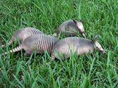 Armadillo bebekler — Stok fotoğraf