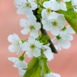 Tree flowers — Stock Photo