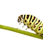 Green caterpillar of swallowtail — Stock Photo