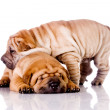 Two Shar Pei baby dogs — Stock Photo #2090493