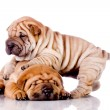 Two Shar Pei baby dogs — Stock Photo