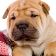 Shar Pei baby dog — Stock Photo